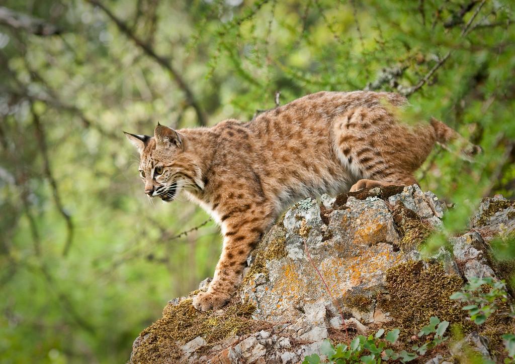 Bobcat near Kalispell, Montana