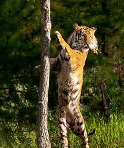 Siberian Tiger, near Triple D Game Farm, Kalispell, Montana