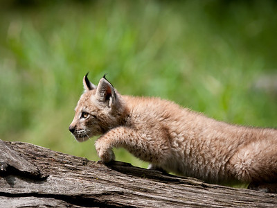Canadian Lynx Kit