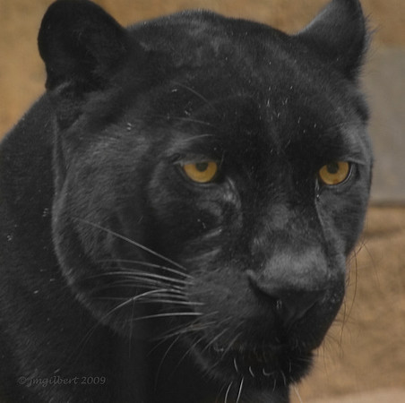 This Black Leopard and a Spotted Leopard, at the Memphis Zoo, were in a fenced in compound consisting of an exercise area and trees for climbing which are conducive to their species.