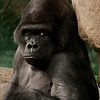 Male Gorilla waiting for his harem.