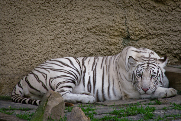White Bengal Tiger: Beauty at its most powerful.