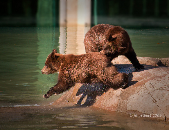 Baby Grizzly Bears playing.  These orphan cubs came from Wyoming.