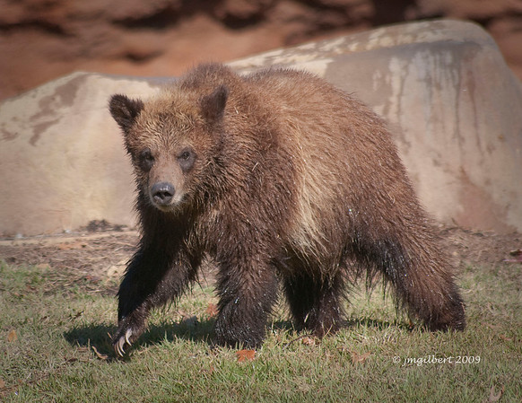 igger of the three Grizzly Cubs.
