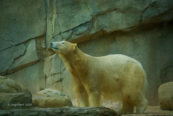 Female Polar Bear-Memphis Zoo;