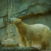 Female Polar Bear-Memphis Zoo;