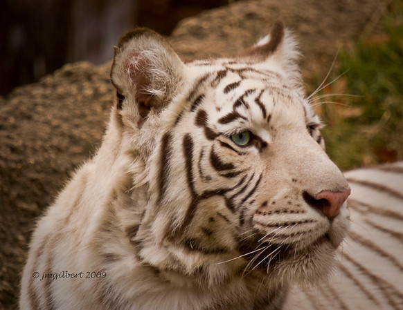 White Tiger which is part of the Tiger Exhibit.