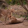 The Cheetah has to be one of the most regal looking animals on earth.  Their seek bodies and graceful movement is a joy to behold.  This is a large outdoor exhibit providing room to run, swim, play and bask in the sun.
