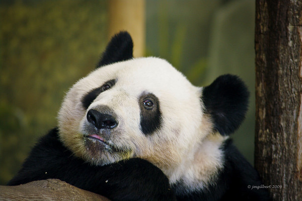 The Panda Exhibit has both an indoor exercise area and an outdoor area.