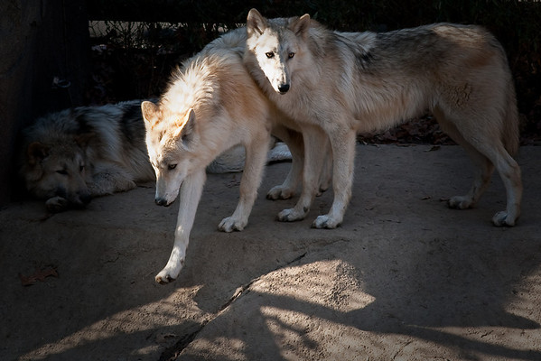 Grey Timber Wolves. Two females and one male.