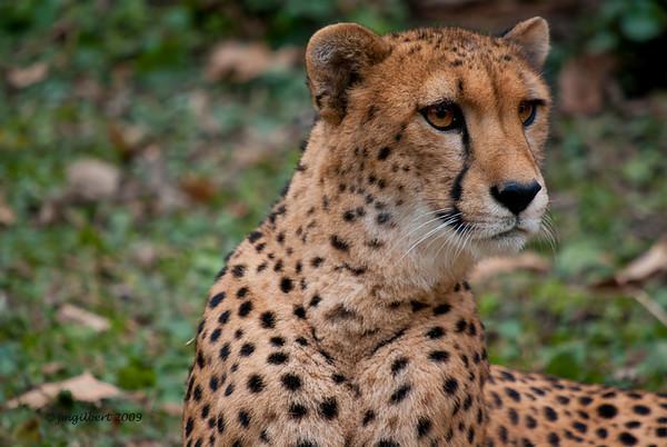Cheetah at Memphis Zoo.