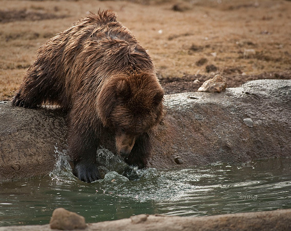 Young adult (less than 1 Year)  Grizzley fishing.