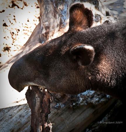 Tapir at Cheyenne Mountain Zoo. Colorado