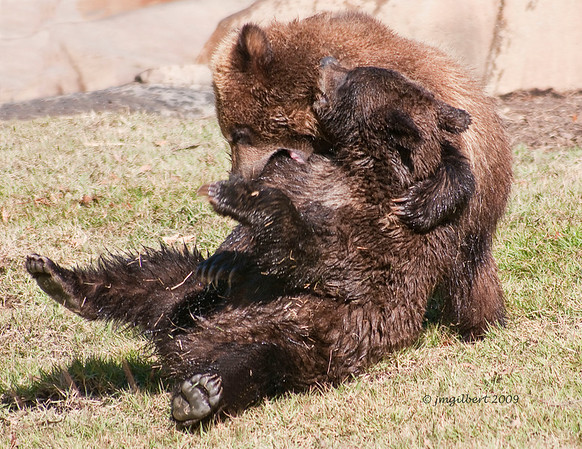 Grizzly Bear Cubs not-stop play.