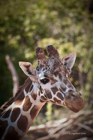Giraffee at Cheyenne Mountain Zoo.  Colorado Spring, Colorado