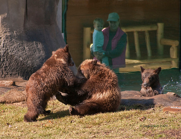 Grizzly Cubs at play.  Notice the glass observation area in the background.