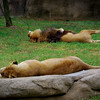 Male and Female Lion-Memphis Zoo:  Notice no pacing but relaxing in the sun, typical for this species.