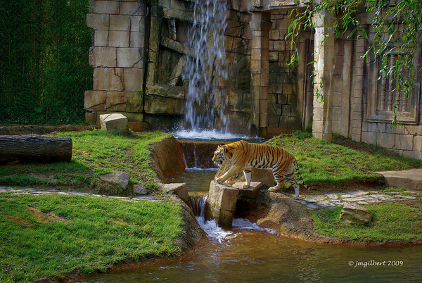Tiger at the Memphis Zoo.  Notice its surroundings, the waterfall and the moat which allows for swimming and also serves to prevent the animal from escape.  I am looking over a wall into this compound.  There were three cats in this area the other two were sleeping in the shade to the far left. The water is said to be 10 feet deep.