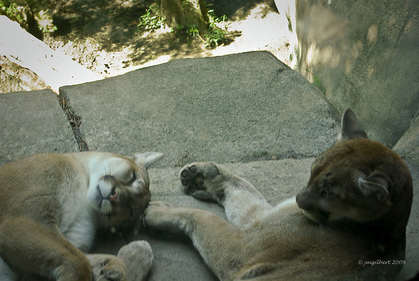 This is part of the Mountain Lion Exhibit.  This shot was taken from behind a glass panel.  These animals are on a rock pretty high off the ground.  You can usually find one sleeping in this alcove.