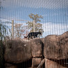 Black Leopard in a well develop compound that stimulates climbing and provides the animal with its natural instinct to seek higher resting places.