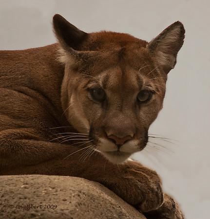 Cougar-Memphis Zoo.