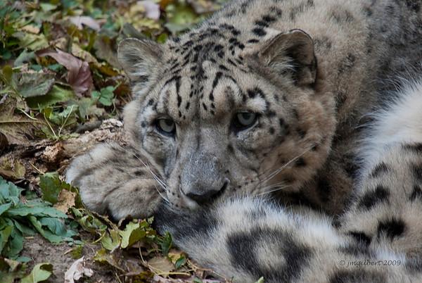 Snow Leopard-Memphis Zoo