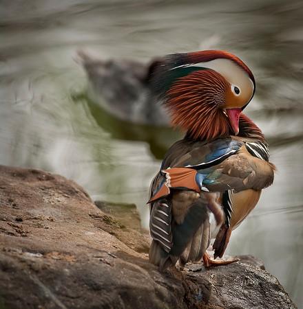 Mandarin Duck, cleaning itself.