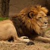 Male Lion-Memphis Zoo:  Beautiful animal in captivity but in a natural environment.  Included is a moat, trees, and large rocks.  Can be observed from a wall that seperates this area by a moat.
