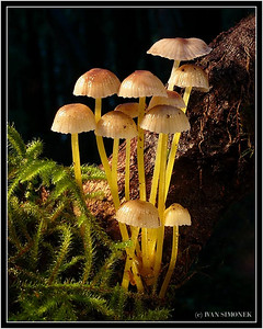 """RAIFOREST FAMILY"", Mycena, Wrangell, Alaska, USA."
