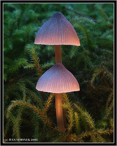 """MAGIC MUSHROOMS"", Mycena Epipterygia, Wrangell, Alaska, USA."