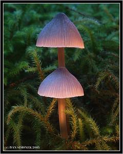 """MAGIC MUSHROOMS"", Mycena Epipterygia, Wrangell, Alaska, USA."