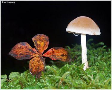 """DRIPPING WET"", a small mushroom next to Bunchberry leaf. Wrangell, Alaska, USA.-----""MOKRA"" mala houba, vedle je list rostliny Cornus canadensis.Wrangell, Aljaska, USA."