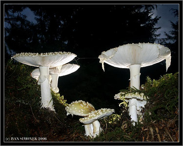 """EVENING WITH AMANITAS"", Wrangell, Alaska, USA-----""VECER U MOCHOMUREK""."