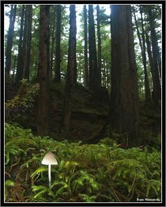 """A DWARF IN THE LAND OF GIANTS"",a  tiny Mycena Epipterygia in the rainforest of Wrangell island, Alaska, USA.-----""TRPASLIK V RISI OBRU"", nepatrna Mycena epipterygia v destnem pralesu ostrova Wrangell, Aljaska, USA."