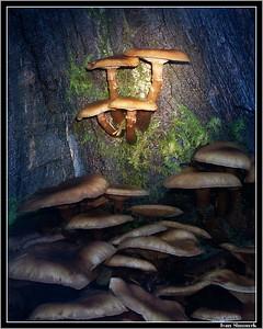 """""""SPOTLIGHT ON MUSHROOMS"""", Wrangell, Alaska, USA.-----""""BODOVE OSVETLENE HOUBY""""."""