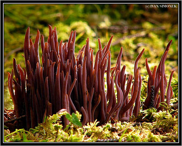 """DANCING EARTWORMS"", Purple Club Coral mushroom, Wrangell, Alaska, USA-----""ROZTANCENE ZIZALY"", houba Clavaria purpurea, Wrangell, Aljaska, USA."