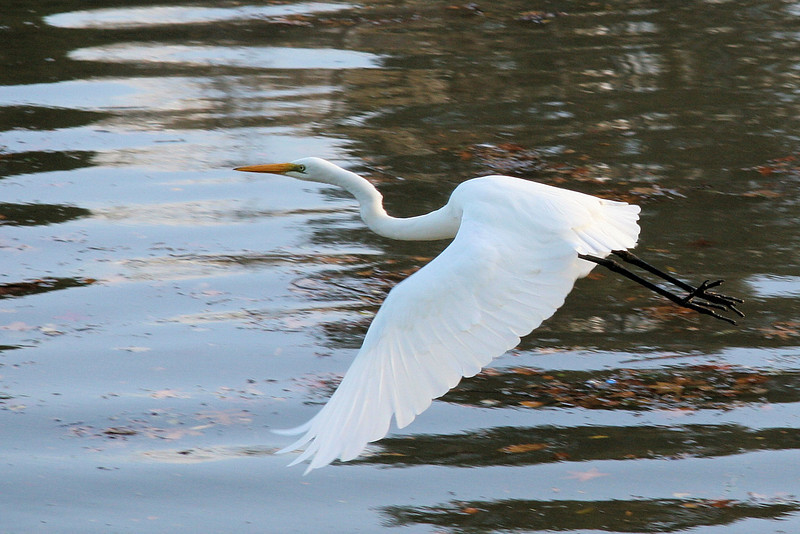 Then it flew.  See the Egret fly.