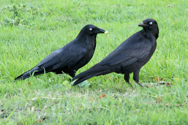 Blackbirds or ravens of some sort.