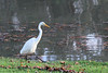 This Great Egret was walking downstream.