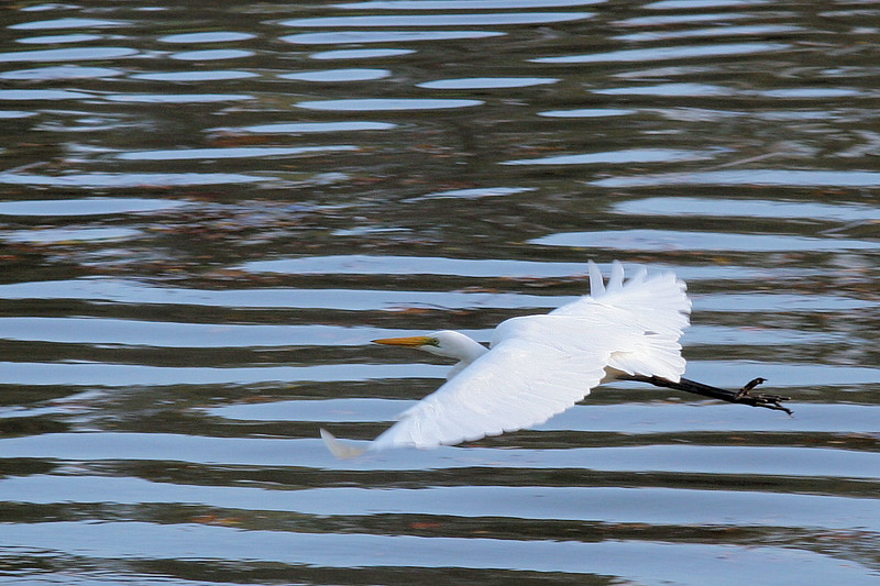 """See Egret fly!<br /> (Apologies to Dick and Jane books for my paraphrasing of """"See Spot Run"""".)"""