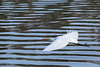 "See Egret fly!<br /> (Apologies to Dick and Jane books for my paraphrasing of ""See Spot Run"".)"