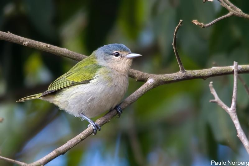 Conirostrum speciosum<br /> Figuinha-de-rabo-castanho fêmea<br /> Chestnut-vented Conebill female<br /> Mielerito azul - Sai