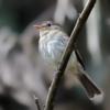 Lathrotriccus euleri<br /> Enferrujado<br /> Euler's Flycatcher<br /> Mosqueta-parda