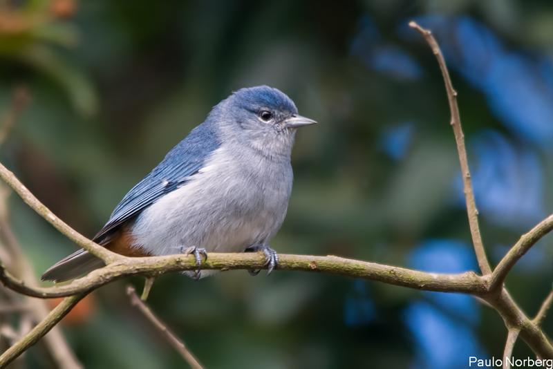 Conirostrum speciosum<br /> Figuinha-de-rabo-castanho<br /> Chestnut-vented Conebill<br /> Mielerito azul - Sai