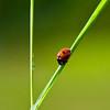 Marihøner (Coccinellidae) er en familie innen ordenen biller (Coleoptera). I Norge er det 54 forskjellige arter, mens det finnes over 5000 på verdensbasis.