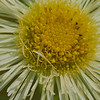 Closer view of a wild daisy.