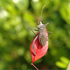 Stinkbug -- the official insect of Stink-a-dena, Texas. Scientific classification -- Pasadenicus Stinkoranium. Some people think Pasadena stinks because of the chemical plants. But really it's because the city is home to so many of the Pasadenicus Stinkoraniums.