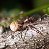 I dag har vi registrert 563 naturlig forekommende arter av edderkopper i Norge. De  fleste av disse lever i skog og mark og folk flest kommer aldri i kontakt med dem.