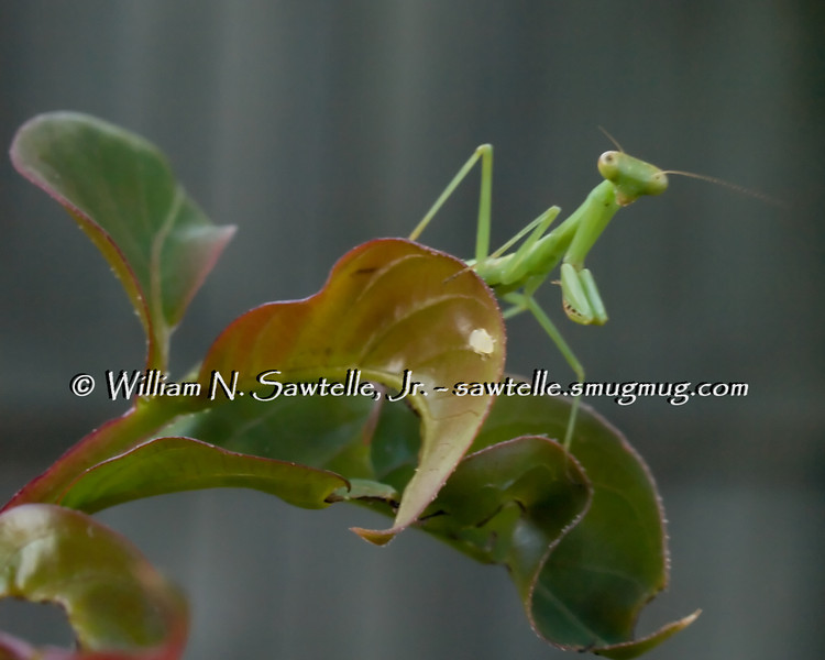 Mantis on Crepe Myrtle leaf