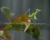 Mantis on Crepe Myrtle leaf